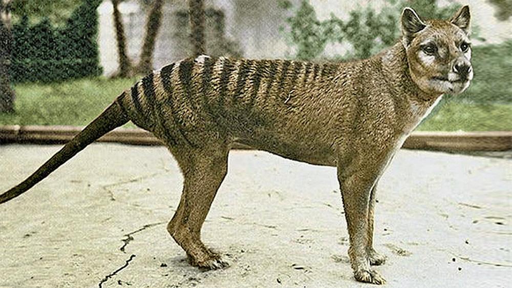 Is the Tasmanian Tiger still alive?